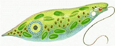 amoeba and euglena relationship problems