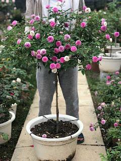hoa hồng thân gỗ hoa nở đều đẹp như cái ô