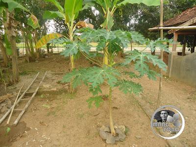 Mitos menanam pohon pepaya didepan rumah