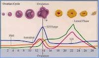 Ciclo de hormonas de maduración