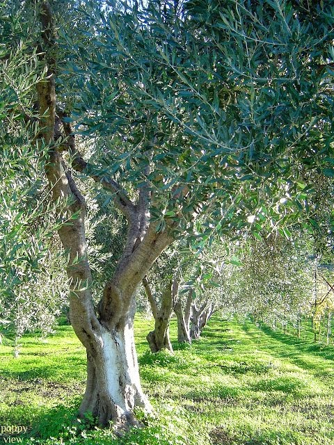 Olive Tree Chivalry