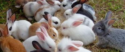 pakan untuk ternak kelinci