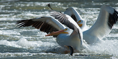 American White Pelicans, Lewisville Lake Environmental Learning Area