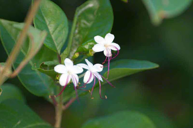 flower, Clerodendrum, leaves, stem