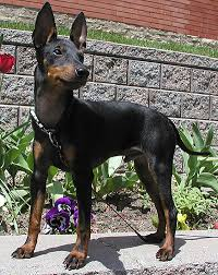 Manchester Terrier toy dog on cute look