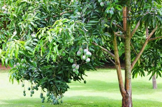 Gambar Pohon Mangga Gambar Pemandangan