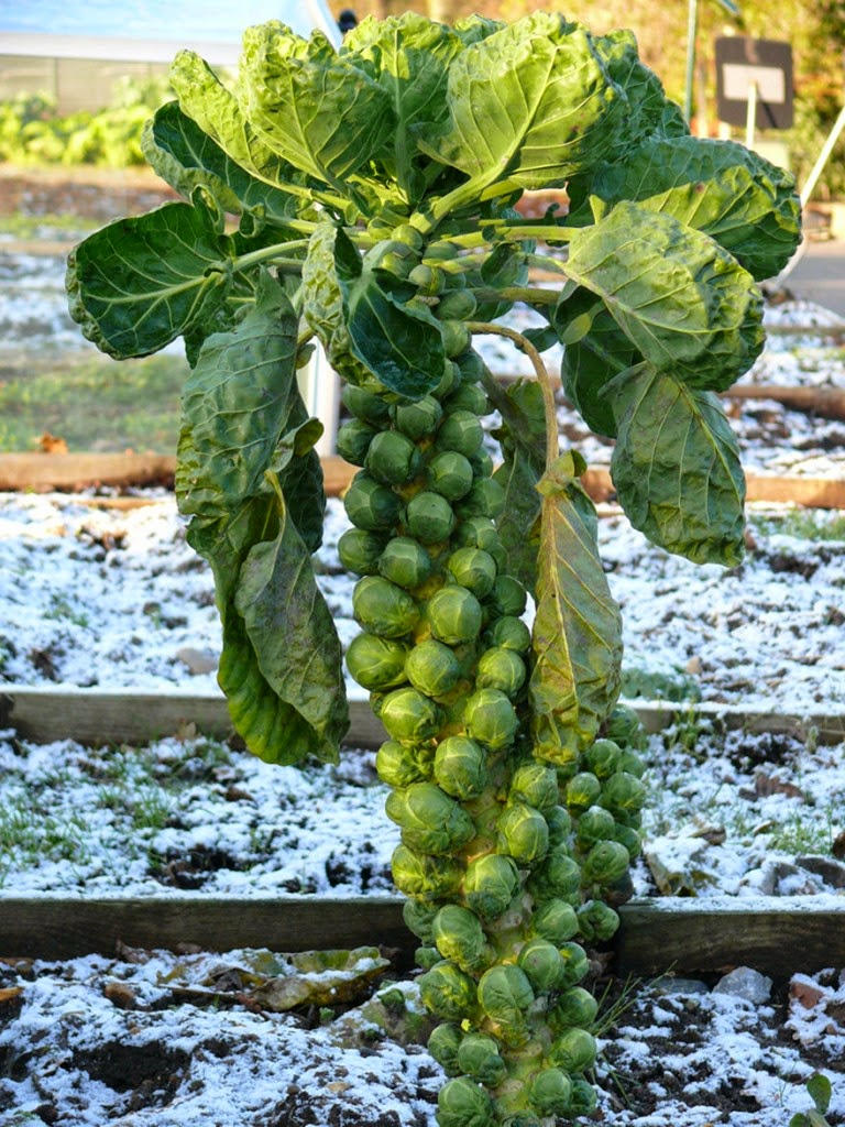 Do You Know What Your Favorite Foods Look Like While Growing - Cruciferous brussel sprouts grow like this. Sometimes stores even sell them still on the stalk.