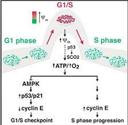 g1 phase cdkcs bind and phosphorylate members of the retinoblastoma