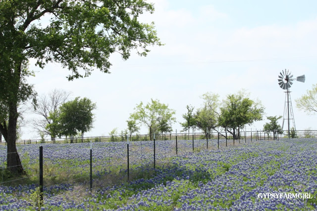 Texas Bluebonnets with Windmill