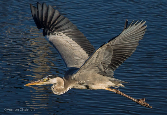 Grey Heron in Flight - Woodbridge Island / Cape Town Copyright Vernon Chalmers