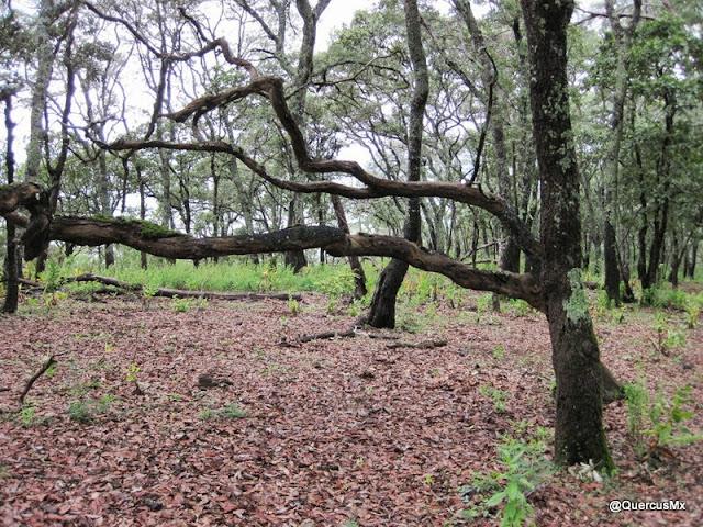 Bosque de encino en la Sierra del Ixtle - Jocotepec