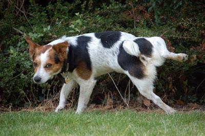 Problemi pri uriniranju pasa