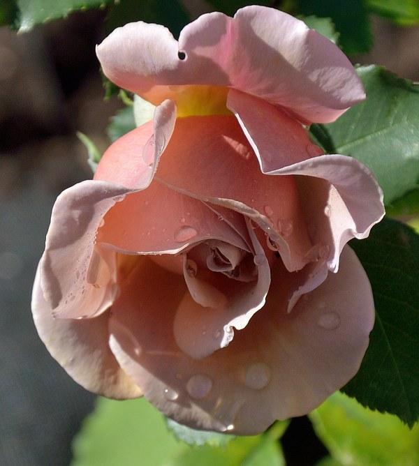 Koko Loko сорт розы фото саженцы купить Минск