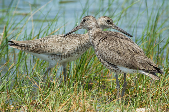 Willets, Anahuac National Wildlife Refuge