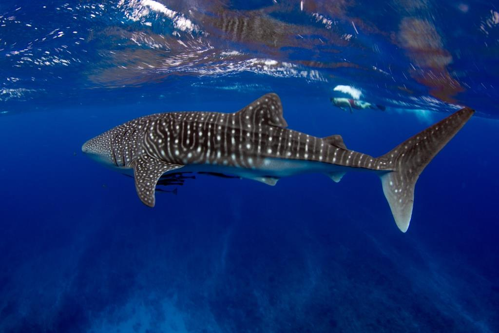 Swimming with a Whale Shark - Ningaloo Reef - Western Australia