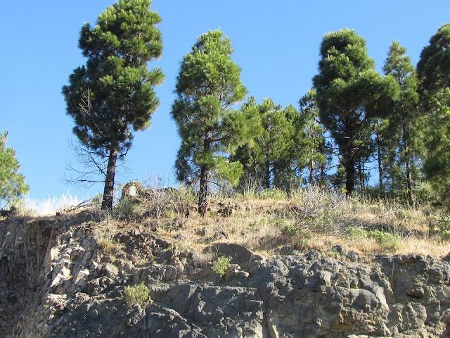Pinus canariensis Canarie Tenerife