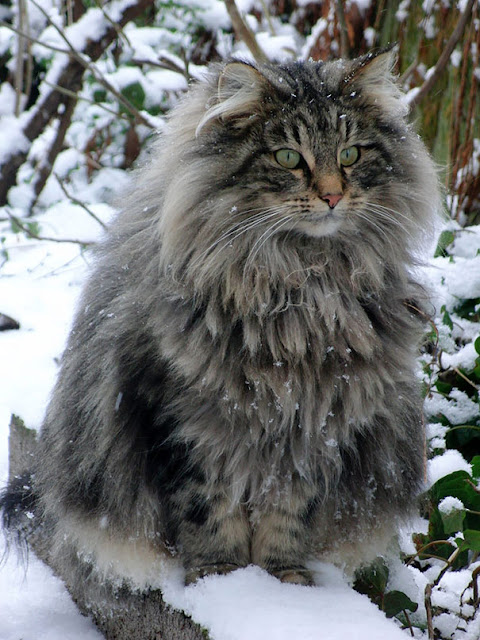 Maine Coon cat with green eyes and fluffy grey fur outside in the winter snow. #maincoon #beautifulcat #winteranimals #catlove