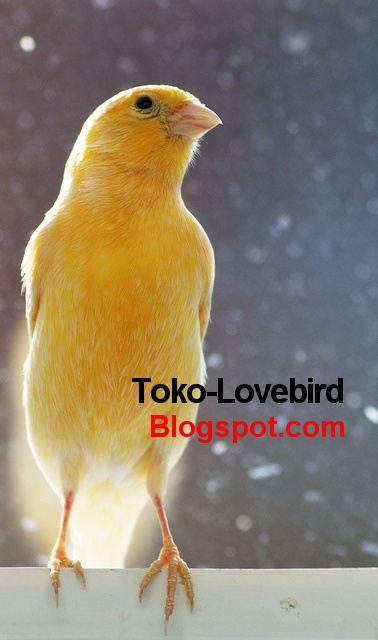 Download Mp3 Gratis Suara Kenari Juara : download, gratis, suara, kenari, juara, Download, Suara, Burung, Cendet, Juara, Litlesitespice