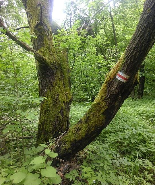 Omszałe drzewo przy szlaku.