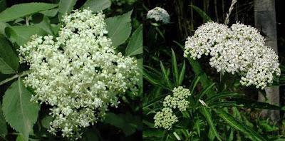 Confronto fiori sambuco comune e sambucus ebulus.