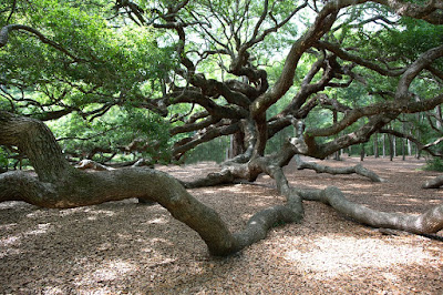 Angel Oak Tree in Charleston South Carolina