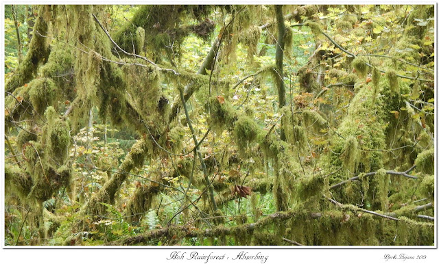 Hoh Rainforest: Absorbing