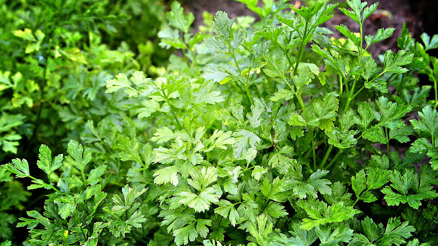 Eating Parsley For Weight Loss