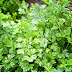 Eating Parsley For Weight Loss, Kidney And Breast Cancer