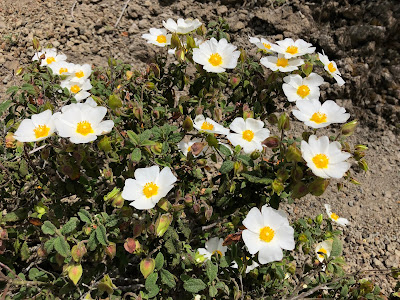 Member of the Cistaceae family: Cistus salviifolius.
