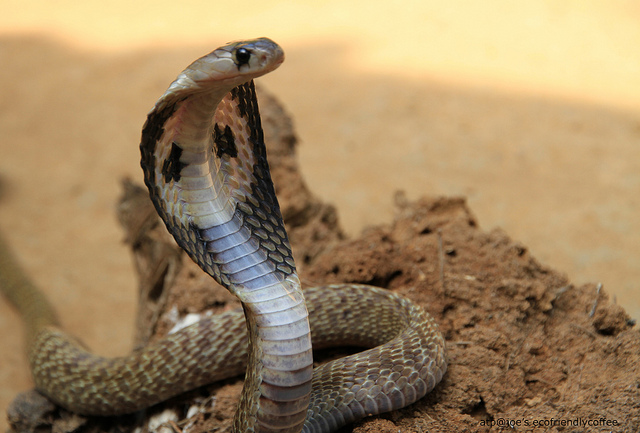Ular Egyptian Cobra