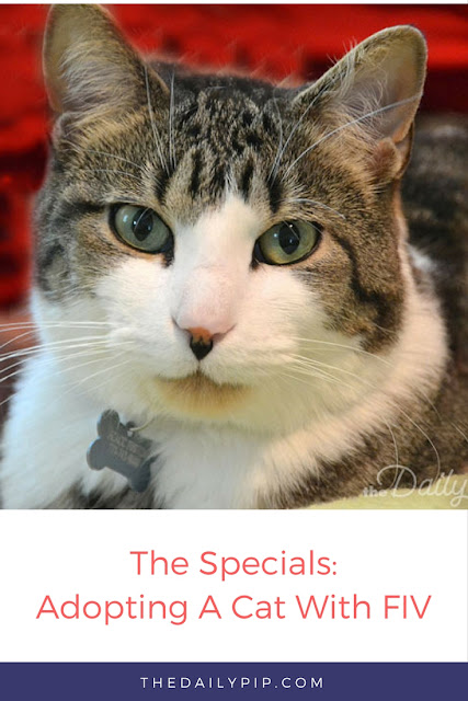 Adopting a cat with FIV in a home with cats