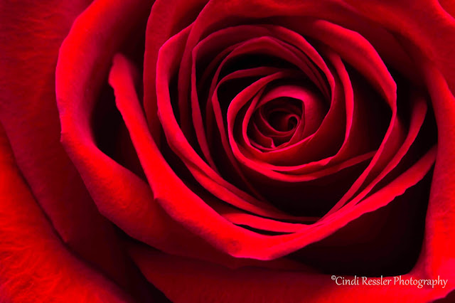 http://fineartamerica.com/featured/simply-red-rose-cindi-ressler.html?newartwork=true