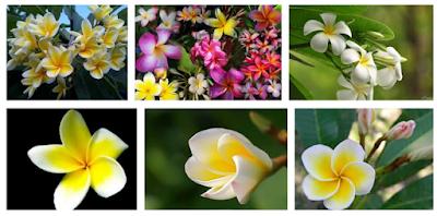 Cara Budidaya Bunga Kamboja dan Perawatannya