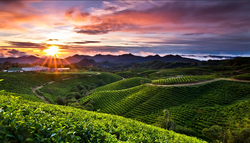 Kebun teh malino highland di Tinggimoncong
