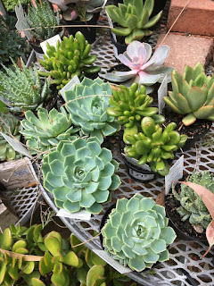 Succulents and Cactus at the Nursery