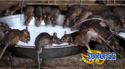Sepasang anak hidup bersama ribuan tikus di tempat yang tidak layak