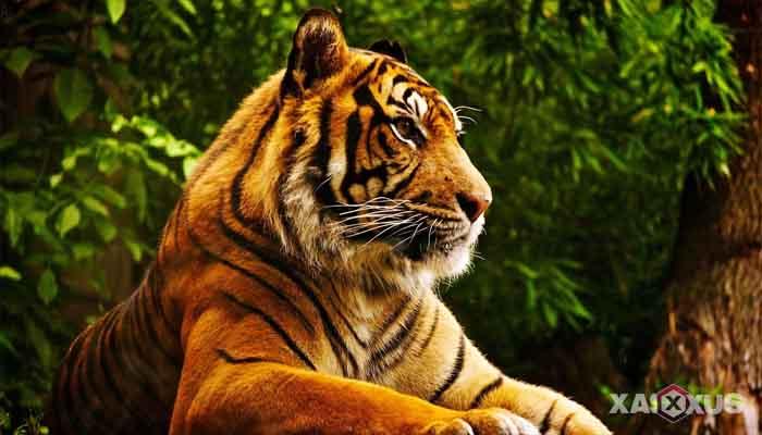 Gambar hewan karnivora atau hewan pemakan daging - Harimau