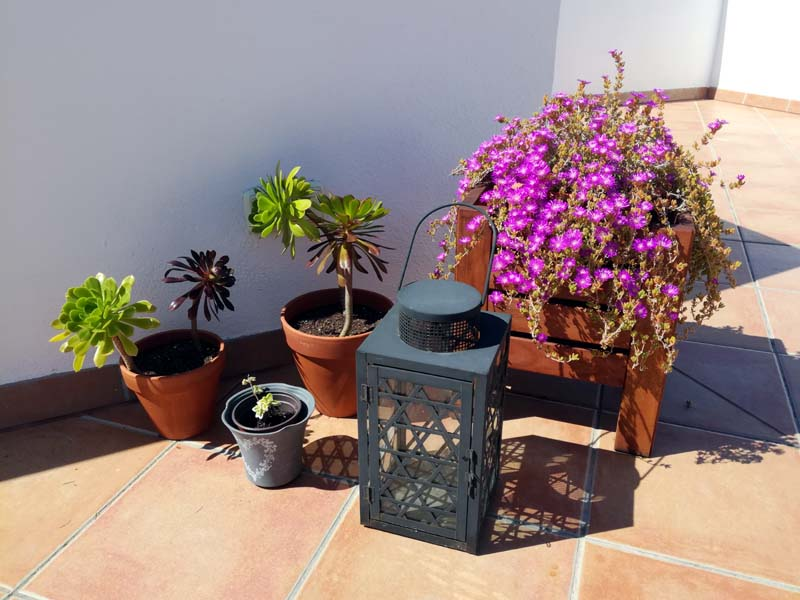 Delosperma in fiore con vasi di aeonium e la pianta dell'incenso