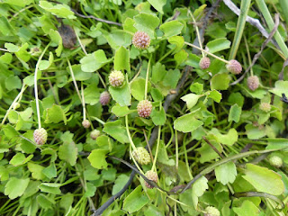 Renoncule cymbalaire - Halerpestes cymbalaria - Ranunculus cymbalaria