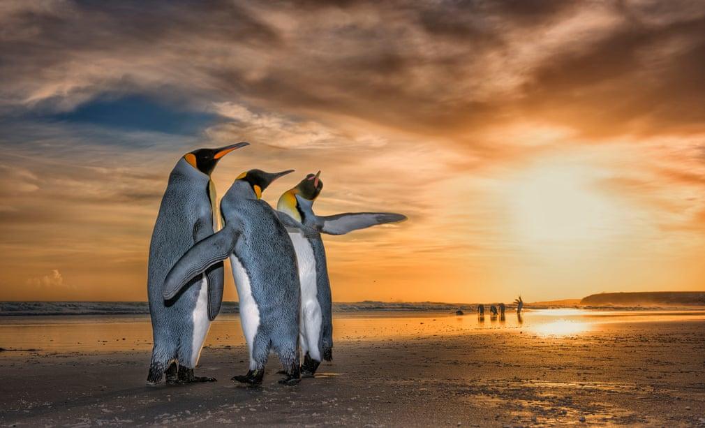 Três pinguins-imperador numa praia das ilhas Falkland (por Wim Van Den Heever)
