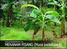 Cara menanam Pisang yang efektik cepat tumbuh dan berbuah