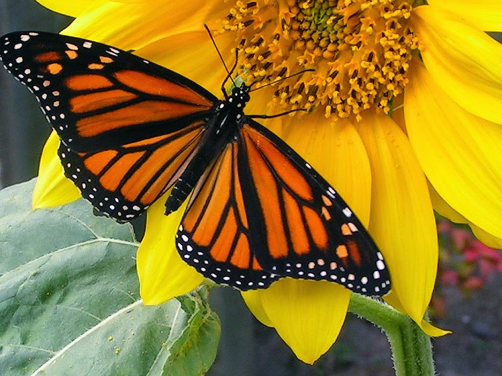 Ichabod, The Glory Has Departed: Monarch Butterfly on the ...