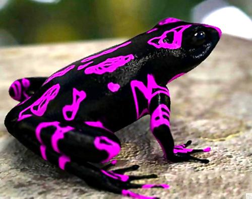 Suas cores vibrantes, dispostas sob um fundo preto, representam um aviso claro para seus possíveis predadores de seu potencial letal.
