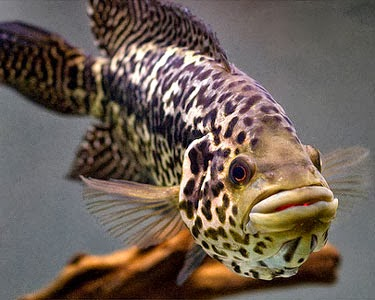 Predatory Freshwater Fish