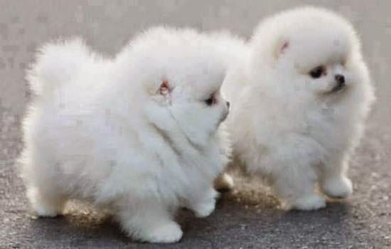 fluffy miniature dogs - photo #27