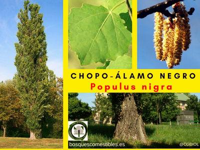 El Chopo o Álamo negro es es un árbol caducifólio, robusto de rápido crecimiento que puede alcanzar hasta 30 metros de altura