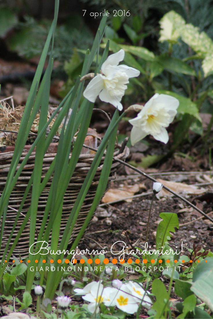 Fiori di aprile narciso 39 mount hood 39 un giardino in diretta - Fiori di giardino ...