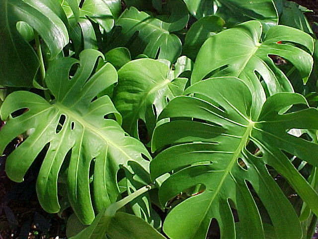 The Earth of India: All About Monstera Deliciosa