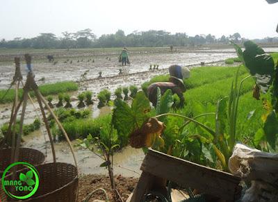 FOTO : BABUT, Mencabut benih Padi Teknik Petani Padi Pagaden Barat, Subang