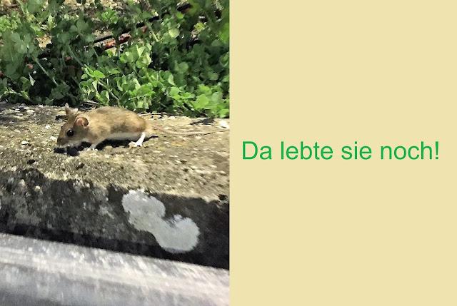 lebendige Maus